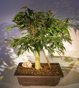 Ficus Oriental Bonsai Tree Banyan Roots (ficus orientalis)