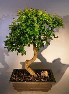 Flowering Ligustrum Bonsai Tree Curved Trunk Style (ligustrum lucidum)