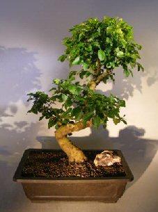 Flowering Ligustrum Bonsai Tree Curved Trunk Style) (ligustrum lucidum)