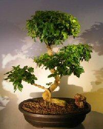 Flowering Ligustrum Bonsai Tree Curved Trunk & Tiered Branching Style (ligustrum lucidum)
