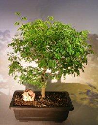 Flowering Brazilian Raintree Bonsai Tree(pithecellobium Tortum)