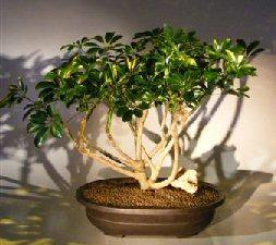 Hawaiian Umbrella Bonsai Tree (arboricola schfflera)