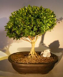 English Boxwood With Exposed Roots (buxus semperuirens)