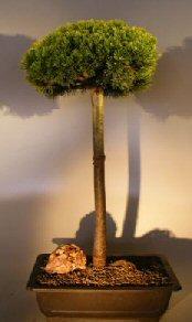 Mugo Pine Bonsai Tree Upright Broom Style (pinus mugp 'valley cushion')