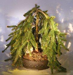Dwarf Weeping Norway Spruce Bonsai Tree (picea abies 'glauca pendula')
