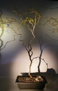 Walking Stick Bonsai Tree (corylus avellana 'contorta')
