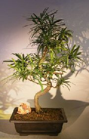 Flowering Podocarpus Bonsai Tree Curved Trunk Style (podocarpus macrophyllus)