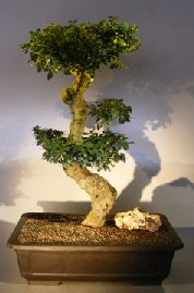 Flowering Fukien Tea Bonsai Tree Curved Trunk & Tiered Branching (ehretia microphylla)