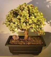 Baby Jade Bonsai Tree - Variegated (portulacaria afra variegata)