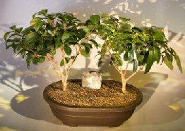 Flowering Ligustrum Bonsai Tree Two Tree Group (ligustrum lucidum)