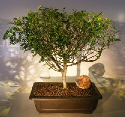 Flowering Chinese Pepper Bonsai Tree (zanthoxylum piperitum)