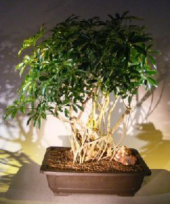 Hawaiian Umbrella Bonsai Tree Banyan Style (arboricola schfflera)