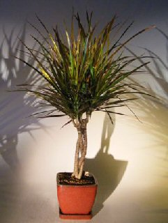Dracena Bonsai Tree Braided Trunk (Dracena Marginata)