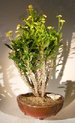 Flowering Crown of Thorns Bonsai Tree - Cream / Yellow (euphorbia milii)