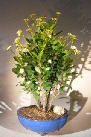 Flowering Crown of Thorns Bonsai Tree – Cream / Yellow (euphorbia milii)