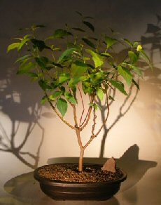 Red Twig Dogwood Bonsai Tree (cornus alba)