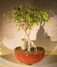 Oriental Ficus Bonsai Tree Root Over Rock Stone Landscape Scene (ficus benjamina 'orientalis')