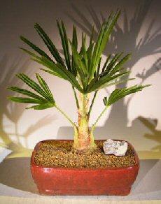 Windmill Palm (trachycarpus fortunie)