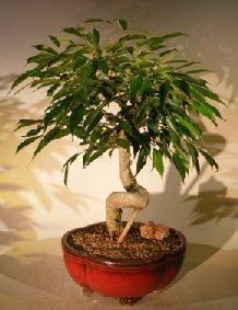 Oriental Ficus Bonsai Tree Coiled Trunk (benjamina 'orientalis')
