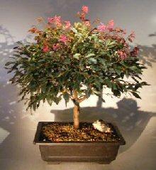Flowering Chinese Fringe Bonsai Tree (loropetalum chinensis)