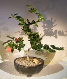 Flowering Dwarf Plum Bonsai Tree Curved Trunk Style (carissa macrocarpa) Plums, Plum, Plum Tree, Plum Trees, Plum Plants, Plum Starts, Fruit Trees, Fruit Garden, Fruit Plant