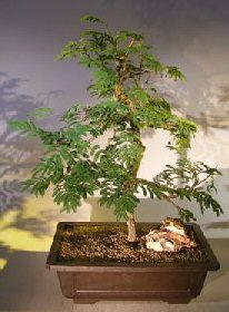 Flowering Princess Earrings Bonsai Tree (dichrostachys cinerea)
