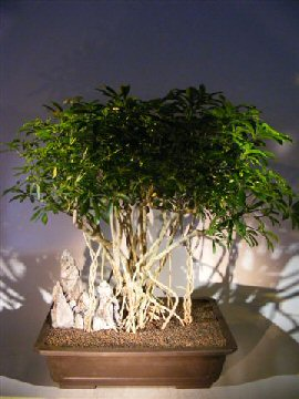 Hawaiian Umbrella Bonsai Tree Braided Banyan Roots (arboricola schfflera)