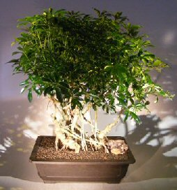 Hawaiian Umbrella Bonsai Tree Banyan Style (arboricola schfflera)