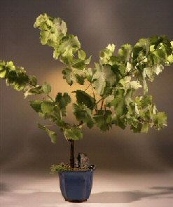 Seedless Grape Bonsai Tree