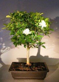 Flowering Gardenia Bonsai Tree (jasminoides Miami Supreme)