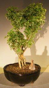 Ming Aralia Bonsai Tree Variegated Polyscais Fruticosa