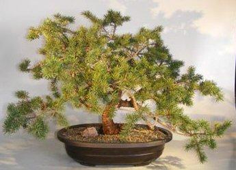 Jack Pine Bonsai Tree Pinus Banksiana Schoodic