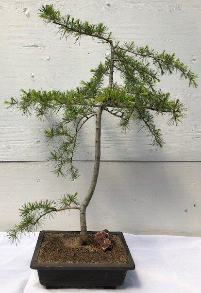 Deodar Cedar Bonsai Tree(cedrus deodara) Image