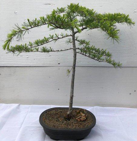 Deodar Cedar Bonsa Tree Cedrus Deodara