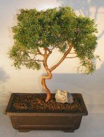 Shimpaku Juniper Bonsai TreeTrained With Coiled Trunk ...