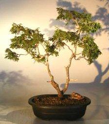 Twisted Hinoki Cypress Bonsai Tree Chamaecyparis Obtusa