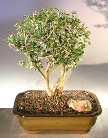 Flowering Tropical Boxwood Bonsai Treetriple Trunk Style Neea Buxifolia