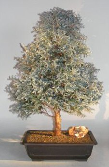 Silver Cypress Bonsai Tree Chamecyparis Pisifera Boulevard