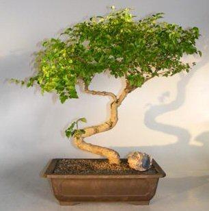 bonsai tree juniper care instructions