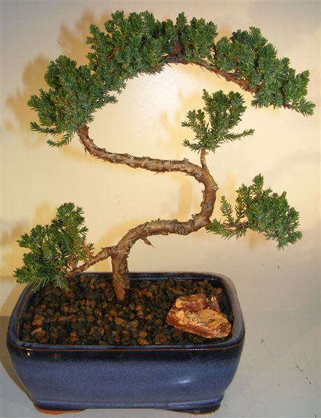 Bonsai, Bonsai Trees - Eastern Leaf offers a wide selection of bonsai trees and + followers on Twitter.
