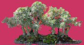 Willow Leaf Ficus - Forest (ficus nerifolia/salicafolia)