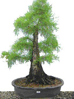 Bald Cypress Bonsai Tree (Taxodium Distichum) - 49 Years Old - Only $3,900