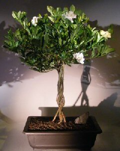 Flowering Gardenia Bonsai Tree (jasminoides Miami Supreme)