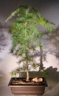 Deodar Cedar Bonsai Tree Cedrus Deodara