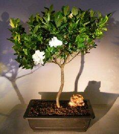 Attrayant Flowering Gardenia Bonsai Tree (jasminoides Miami Supreme)