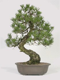 Japanese Bonsai Trees Tree