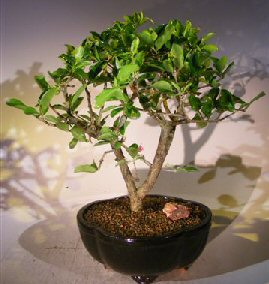 Flowering Dwarf Weeping Barbados Cherry Bonsai Tree Malpighia Pendiculata