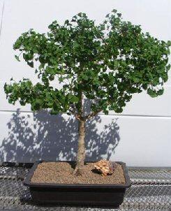 Ginkgo Bonsai Tree Ginkgo Biloba