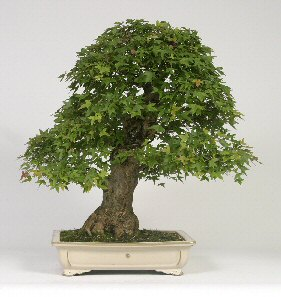 Trident Maple Bonsai Tree (Acer Buergerianum) - 40 Years Old - Only $1,600