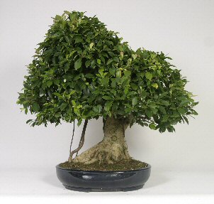Taiwan Ficus Bonsai Tree Ficus Retusa